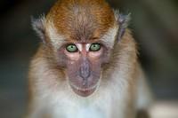 Crab-eating Macaque Macaca fasdicularis young on beach Southern Thailand