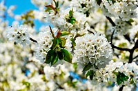 Beautiful blooming apple tree in the spring