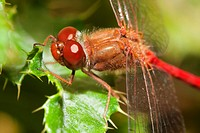 Close_up of a red dragonfly. Big eyes.