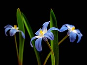blue spring scilla bifolia on a black background