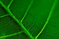 Green leaf witch vein