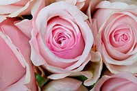 Close_Up of many pastel colored pink Roses