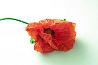 An image of poppy flower