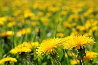 Blossoming dandelions on a lawn in a city