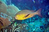 Tropical fish Snapper
