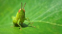 Small green funny grasshopper sitting on a green leaf _ business card format