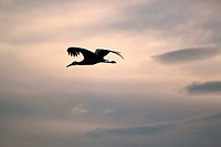 Black shadow of a stork flying away in a cloudy sky by sunset
