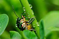 jewel beetle in green nature or in the garden