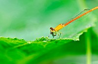red damselfly or little dragonfly in green nature