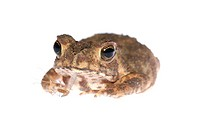 animal toad look at mosquito bug
