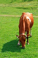 White_brown cow eating grass on meadow