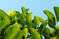 close_up magnolia leaves on blue sky background with space for text