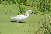 Snowy Egret Egretta thula in the Florida Everglades