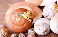 Small banded garden snails crawling on large empty snail shells