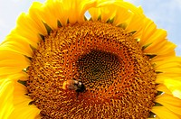 Closeup of blooming sunflower with a bee