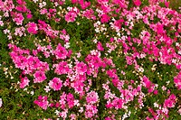 moss pink flowers background