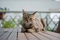 Gray tabby kitten relaxing on a wooden garden table and vegetation on the background