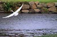 White egret flies out of the water of a pond