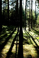 light and shadows in old forest with hight trees