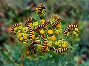 A large group of larvae invading a host plant. Beautiful colors and abstract nature photo.