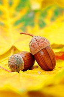 acorns on orange autumn foliage