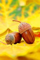 acorns on orange autumn foliage