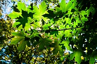 Leaves illuminate in the sunlight bright and strong green