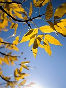 Amazing bright yellow fall foliage, backlit by the warm sun.
