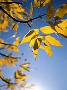 Amazing bright yellow fall foliage, backlit by the warm sun.