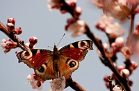 Butterfly perched on the branch blossomed