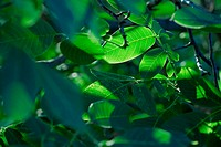 Green leaves in the shades, green natural background