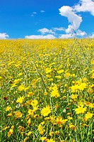 Yellow flower field, alentejo region, Portugal.