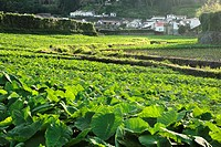Taro Colocasia esculenta plantation in the village of Furnas  Sao Miguel island, Azores islands, Portugal