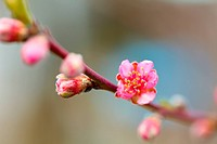 Closeup of beautiful peach flowers on a branch outdoor