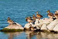 Enjoy the rest the many wild ducks