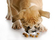english bulldog puppy bent over to eat dog food with reflection on white background _ 12 weeks old