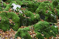 moss on the jungle irati, Pyrenees, Navarre, Spain