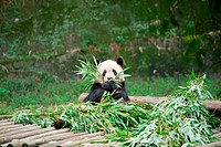 an adult giant panda was eating bamboo leaf