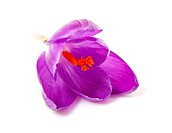 pink Dutch spring crocus flower over white background
