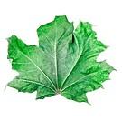 old maple leaf