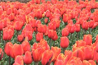 Colorful tulips garden in Srinagar, Kashmir, India.