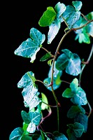 Beautiful leaves isolated on black background
