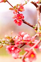 Close up of a japanese flowering quince