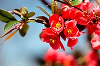 Closeup of a japanese flowering quince