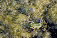 A Green Frog Rana esculenta in polluted, eutrophic water with a lot of Algae.
