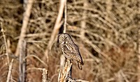 Great Gray Owl Manitoba Canada