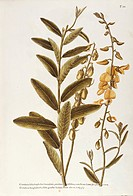 Herbal, 18th-19th century. Iconographia Taurinensis. Volume XX, Plate 10 by Angela Rossi Bottione, Sunn hemp (Crotalaria juncea), Fabaceae. Shrub nati...