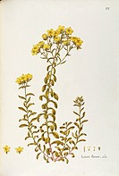 Herbal, 18th-19th century. Iconographia Taurinensis. Volume XXXVIII, Plate 55 by Angela Rossi Bottione, Golden Flax (Linum flavum), Linaceae. Herbaceo...