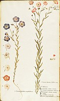 Herbal, 18th-19th century. Iconographia Taurinensis. Volume II, Plate 143-150 by Francesco Peyrolery: Common Flax (Linum usitatissimum), annual plant;...