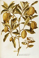 Lemon Citrus limon Burm, Rutaceae, small tree grown for its fruits native to tropical Asia, watercolor, 1770_1781.